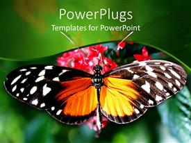 PowerPlugs: PowerPoint template with close up of butterfly with wide open wings on rose flowers and blurred green background