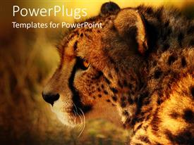 PowerPoint template displaying close up of cheetah head at sunset with blurred background