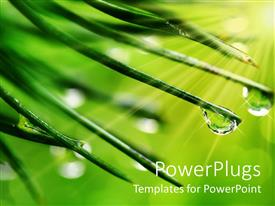PowerPoint template displaying close up of dew drops on green pine needle ends