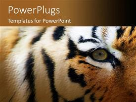 PowerPoint template displaying close up of eye and face of stripped tiger