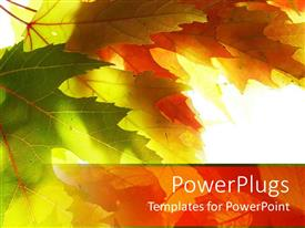 PowerPoint template displaying close up of green and yellow maple leaves in white background