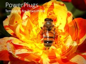 PowerPoint template displaying close up of honey bee collecting pollen in yellow rose
