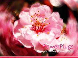 PowerPlugs: PowerPoint template with close up of pink cherry blossoms flowers with blurry background
