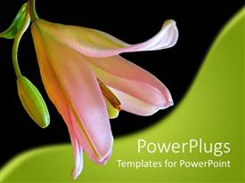 PowerPlugs: PowerPoint template with close up of pink lily in black and green background