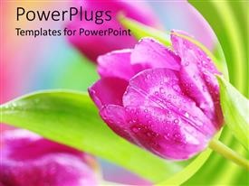 PowerPlugs: PowerPoint template with close up of pink Spring tulip flowers with dew and green leaves