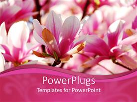 PowerPlugs: PowerPoint template with close up of pink and white magnolia flowers with pink wave border