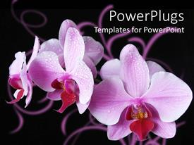 PowerPlugs: PowerPoint template with close up of purple orchids covered with dew, black background