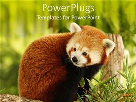 PowerPlugs: PowerPoint template with close up of Red Panda eating bamboo in green field