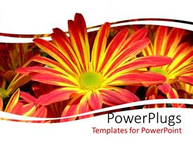 PowerPoint template displaying close up of red and yellow chrysanthemum flowers framed by white background
