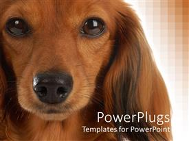PowerPlugs: PowerPoint template with close up shot of a brown colored dog on a brown background