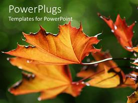 PowerPlugs: PowerPoint template with close up shot of brown dried up maple leaves