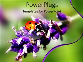PowerPoint template displaying close up shot of a lady bird on a lavender branch