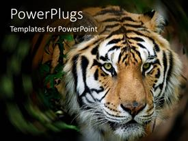 PowerPoint template displaying close up of Siberian Tiger face in a swirled jungle setting