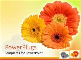 PowerPlugs: PowerPoint template with close up of three Gerber daisy flowers in red, orange, yellow