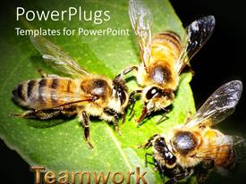 PowerPoint template displaying close up of three honey bees feeding on green leaf