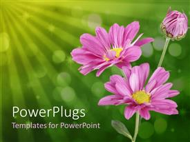 PowerPlugs: PowerPoint template with close up of three pink daisies on bubbled green background
