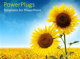PowerPlugs: PowerPoint template with close up of two sunflowers against a field of sunflowers and blue sky