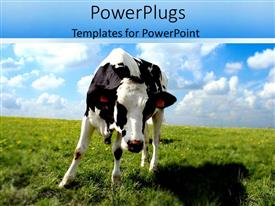 PowerPoint template displaying a close up view of a cow on a plain grass field