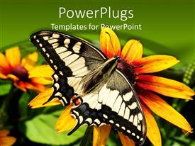 PowerPlugs: PowerPoint template with a close up view of a large butterfly resting on a sun flower