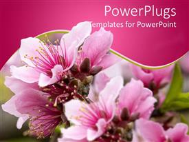 PowerPlugs: PowerPoint template with close up view of peach blossom pink flower on blurred background with pink background framed by curved green and white lines