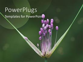 PowerPoint template displaying a close up view of a purple colored  flower