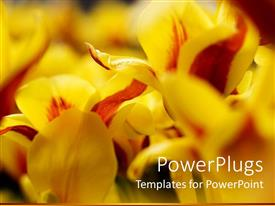PowerPoint template displaying close up of yellow and red tulips with blurred margins
