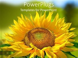 PowerPlugs: PowerPoint template with close up of yellow sunflower with green background