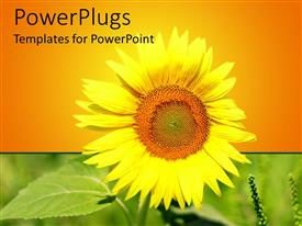 PowerPlugs: PowerPoint template with close up of yellow sunflower on green field and yellow to orange background
