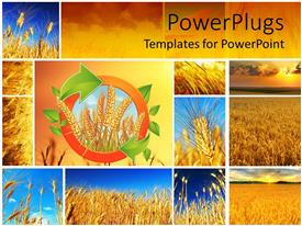 PowerPoint template displaying a collage showing different stages of wheat growth. yellow