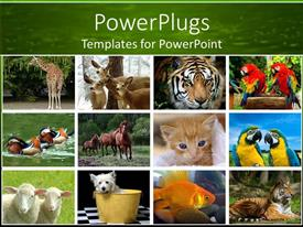PowerPoint template displaying collage of twelve depictions of animals, giraffe, deer, tiger, parrots, ducks, running horses, kitten cat, sheep, dog, fish