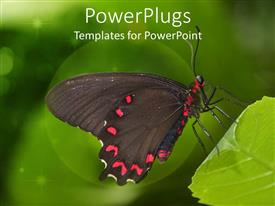 PowerPlugs: PowerPoint template with a colorful large red and black butterfly resting on a leaf