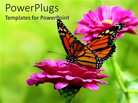 PowerPlugs: PowerPoint template with colorful yellow and orange butterfly on a pink flower