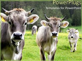 PowerPoint template displaying cows on a grassy field with forest trees in the background