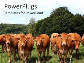 PowerPoint template displaying cows grazing in Tropical grassland with thick forest behind