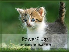PowerPlugs: PowerPoint template with curious gray, white, and brown kitten with blue eyes plays in grass