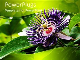 PowerPlugs: PowerPoint template with deep purple passion fruit flower with bright green leaves