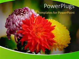 PowerPlugs: PowerPoint template with depiction of autumn with colorful chrysanthemums blossoming in garden