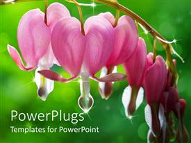 Amazing PPT layouts consisting of dew drops falling from bleeding heart flowers
