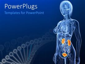 PowerPlugs: PowerPoint template with female anatomy with highlighted urinary system with DNA structure in background