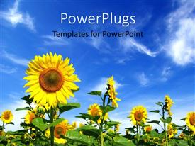 PowerPlugs: PowerPoint template with field of beautiful sunflower with blue cloudy sky overhead