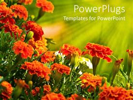 PPT theme having field with fresh orange,white and green colored flowers