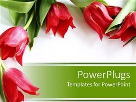 PowerPoint template displaying five red tulips with green leaves on white and green background