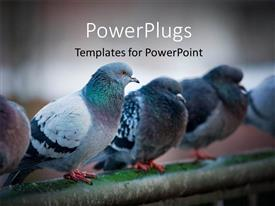 PowerPlugs: PowerPoint template with flock of urban pigeons on bridge railings