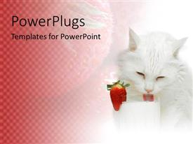 PowerPoint template displaying fluffy white cat drinking milk out of glass with strawberry