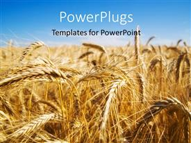 PowerPlugs: PowerPoint template with focus on wheat ears in wheat field with sky in the background