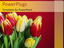 PowerPlugs: PowerPoint template with fresh red and yellow tulips in bouquet over red background