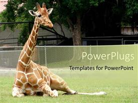 PowerPlugs: PowerPoint template with giraffe relaxing in front of tree at zoo