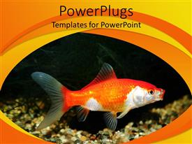 PowerPlugs: PowerPoint template with a goldfish with black background and place for text