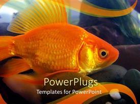 PowerPoint template displaying goldfish close up, aquarium, gold background