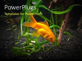 PowerPoint template displaying a goldfish in the sea with clear background